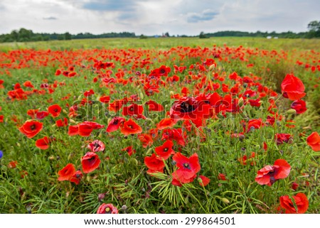Field with red poppies and blue sky. Shallow depth of field - stock photo