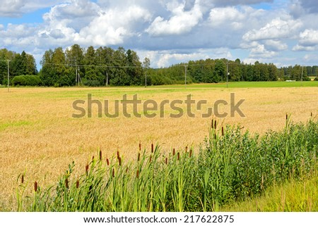 Field with ripe rye - stock photo