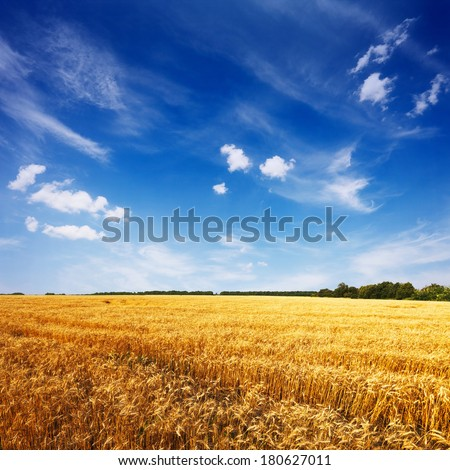 field with ripe wheat and blue sky,  tranquil summer landscape - stock photo
