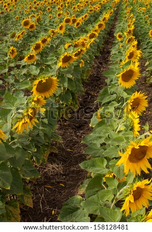 Field with rows of blooming sunflowers. - stock photo