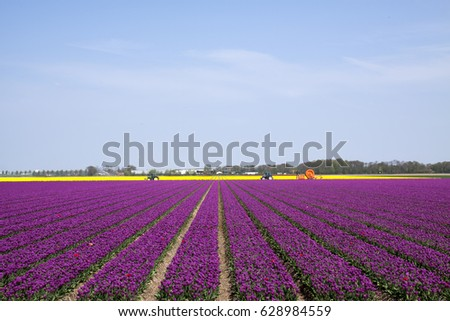 Field with rows of purple tulips on a beautiful day in spring.