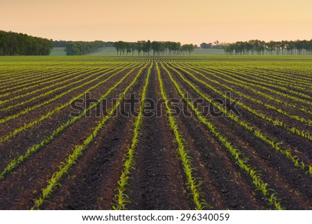 Field with rows of young corn. Morning landscape before sunrise. Beautiful orange light in the sky. Ukraine - stock photo