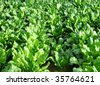 Field with sugar beet - stock photo