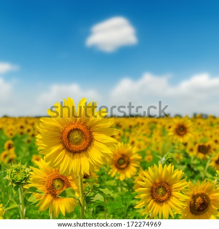 field with sunflower closeup and blue sky. soft focus - stock photo