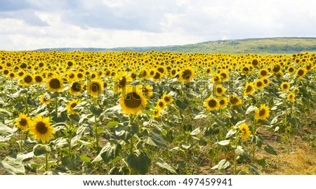 Field with sunflowers, recorded near village Kranevo in Bulgaria.
