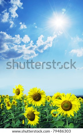 field with sunflowers  under  the sun - stock photo