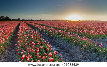 Field with tulips in a late evening sunset - stock photo