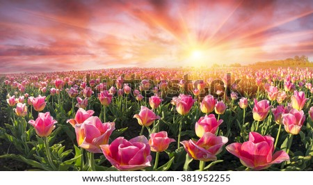 Field with tulips Ukrainian farmer with the famous Dutch and European varieties of tulips beautiful attracts tourists. Sale of bulbs on the landing - a good business for the entrepreneur - stock photo