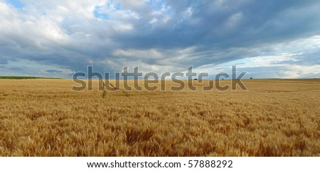 field with wheat