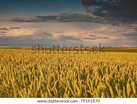 field with wheat and sunset agriculture concept