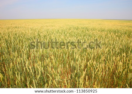 field with wheat in the summer - stock photo