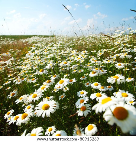 field with white daisies - stock photo