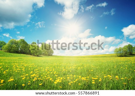 Field with yellow dandelions and blue sky