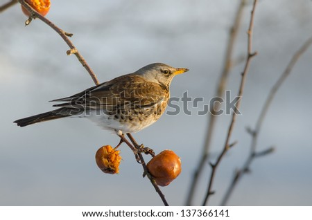 Fieldfare (Turdus pilaris)  in an apple tree in the winter time with copy space - stock photo