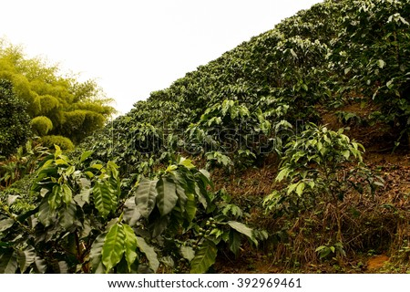 Fields and coffee plantations in the Colombian Andes. - stock photo