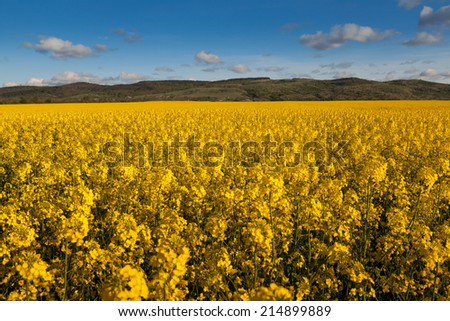 Fields and hills covered in bright yellow canola, colza or rapeseed flowers. With clouds and trees on the background. - stock photo