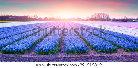 Fields of blooming hyacinth flowers at sunrise. Beautiful outdoor scenery in Netherlands, Europe.