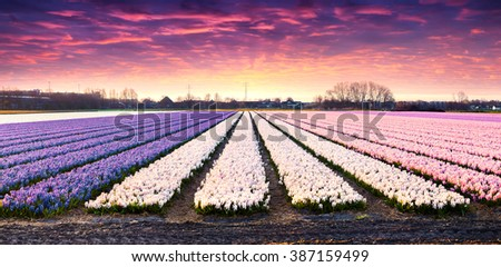 Fields of blooming hyacinth flowers at sunrise. Beautiful outdoor scenery in Netherlands, Europe. Dramatic Holland landscape. - stock photo