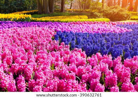 Fields of blooming hyacinth flowers in the Keukenhof gardens, used as background. Beautiful spring sunrise in Netherlands, Europe.  - stock photo