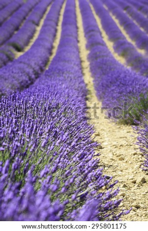 fields of blooming lavender flowers (Provence, France) - stock photo