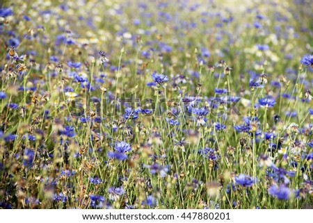 Fields of cereals meadow cornflower and chamomile