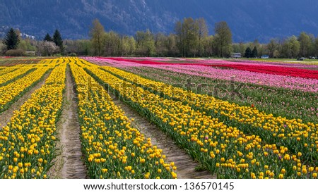 fields of colorful tulips