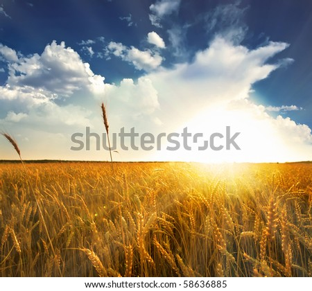 fields of gold - stock photo