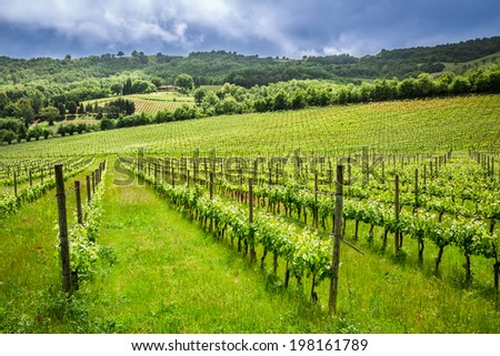 Fields of grapes in the summer, Italy - stock photo
