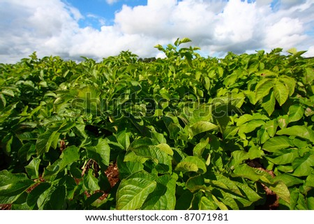 Fields of growing potatoes - stock photo