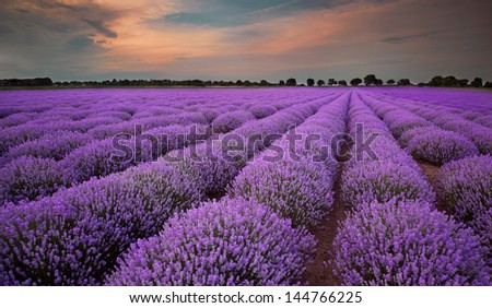 Fields of Lavender at sunset - stock photo