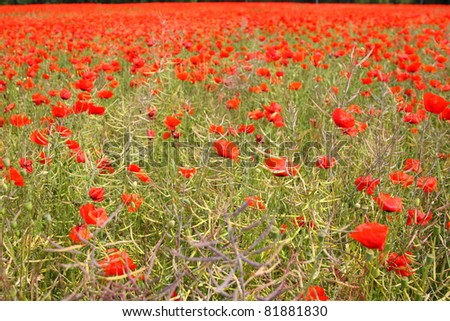 Fields of poppies in spring in France - stock photo