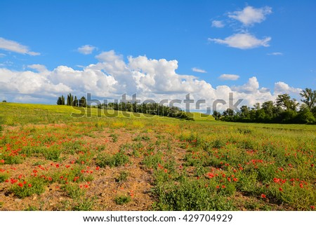 fields of poppies with blue sky and white clouds in the hills of Siena in Tuscany with cypress trees in the background