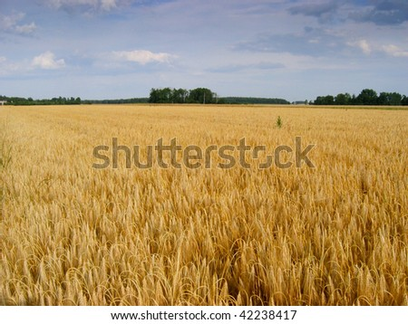 Fields of rye