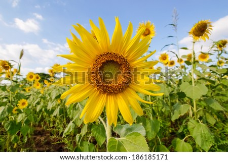 Fields of sunflowers were in full bloom and gardeners