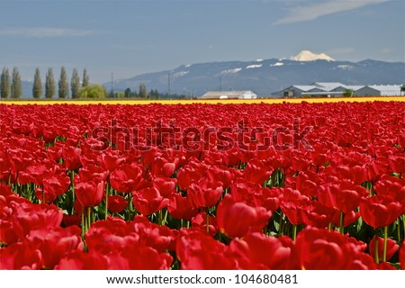 Fields of tulips come into bloom each year during April in the Skagit Valley.   Mount Vernon, WA