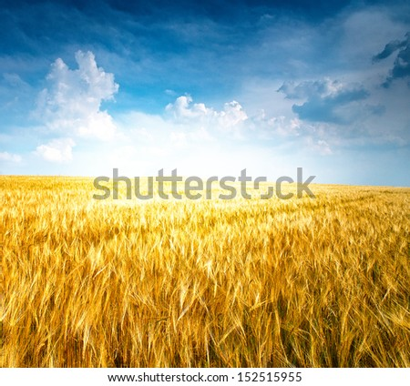 fields of wheat in Lombardy