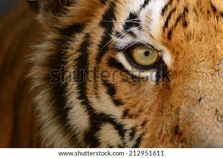 Fierce Bengal tiger eye looking - stock photo