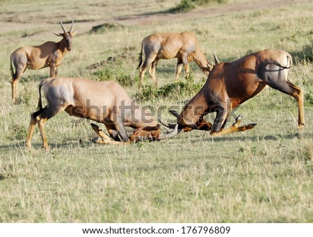 Fierce fight between two Topi antelopes - stock photo
