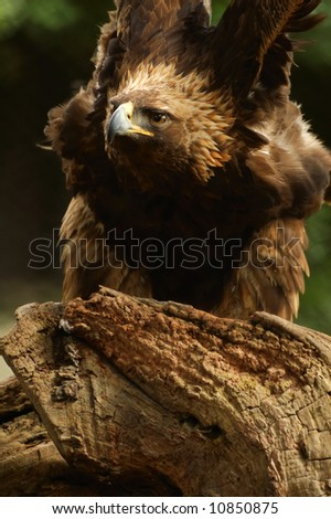 Fierce golden eagle (Aquila chrysaetos)  stretches his wings - stock photo