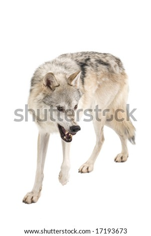Fierce gray wolf isolated on a white background - stock photo