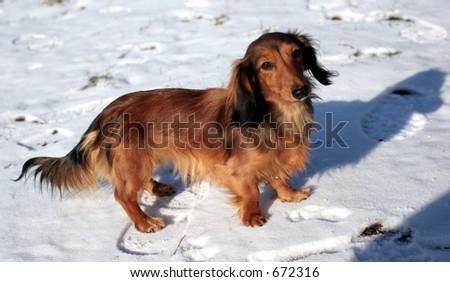 Fiery dog - stock photo