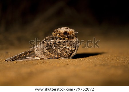 Fiery necked Nightjar at night. Photo taken with spotlight.