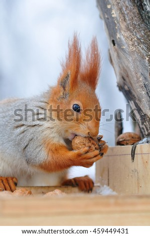 fiery Red squirrel gnaws nuts in the bird feeder, in winter, the nut holds in the big red paws - stock photo