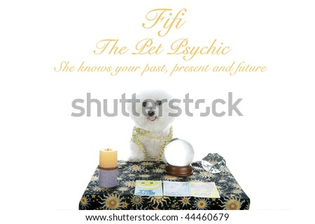 Fifi, the Pet Psychic, she knows your Past, Present, and Future. Bichon Frise isolated on white with easily removable text - stock photo