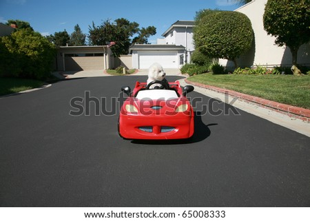 Fifi the pure breed Bichon Frise dog, cruises around looking for cats in her red hotrod car - stock photo