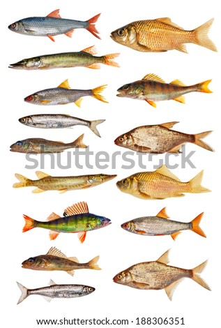 fifteen freshwater fishes collection isolated on white background - stock photo