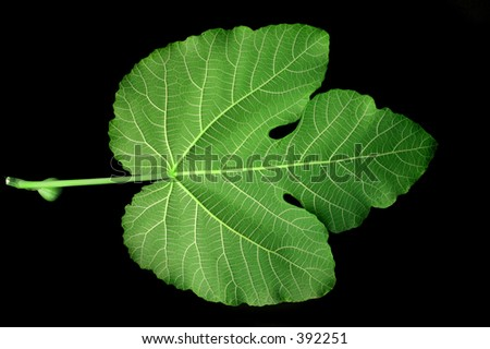 Fig Leaf - green - stock photo