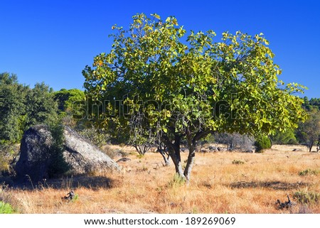 Fig-tree Stock Images, Royalty-Free Images & Vectors | Shutterstock