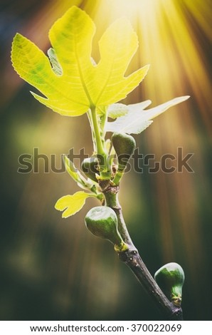 Fig Tree in Sunny Day - stock photo