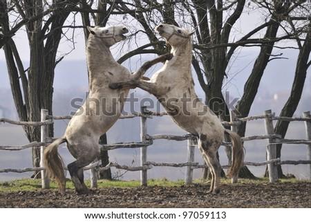 Fight of Lipizzaner stallions - stock photo